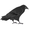 Raven Picture
