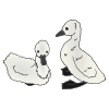 Cygnets Picture