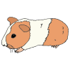 Guinea Pig Picture